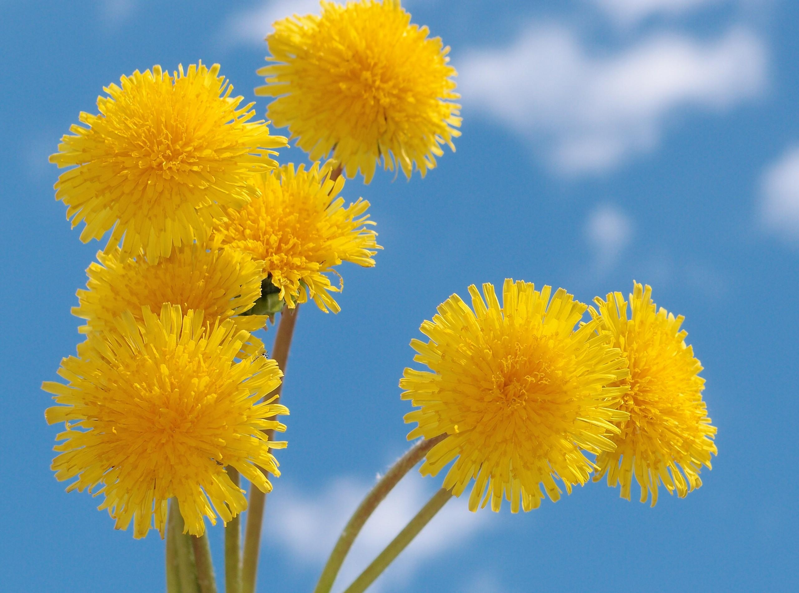 Name 921487 Full HD Pictures Yellow Dandelion Background 142 MB 2560x1900