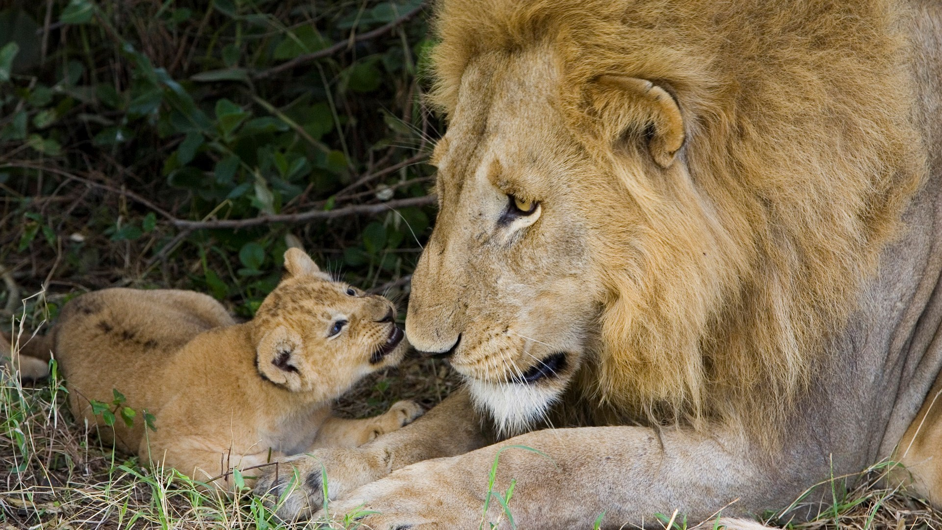 Cute Lion Cub with His Father HD Wallpapers HD Wallpapers 1920x1080