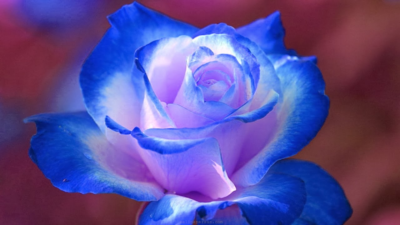 Blue Rose Wallpaper background beautiful desktop wallpapers 2014 1280x720