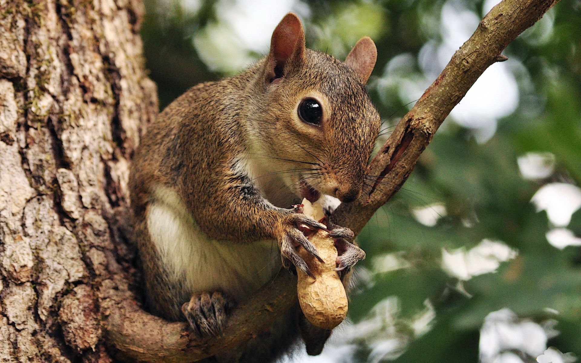 38 squirrel wallpapers for desktop on wallpapersafari - Funny squirrel backgrounds ...