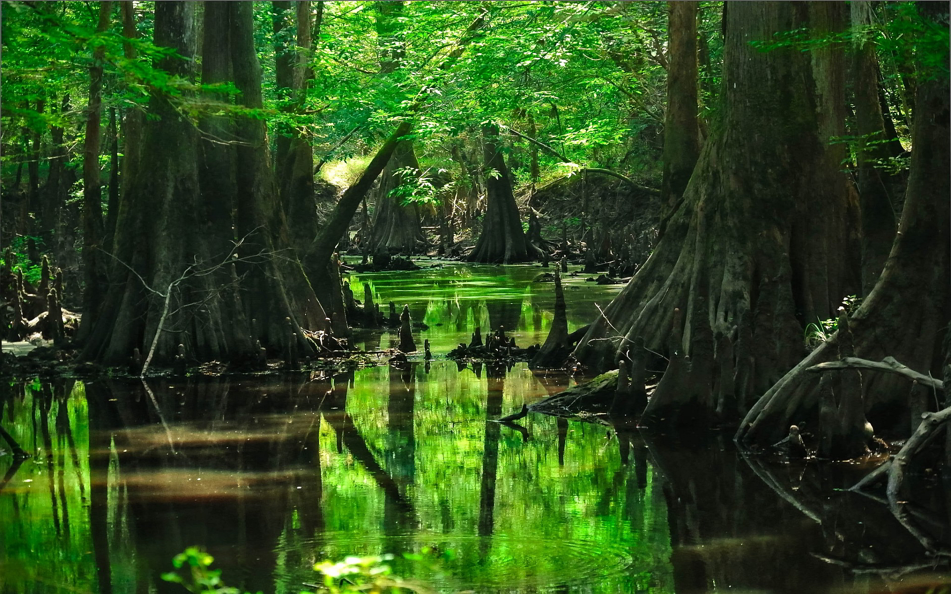 deep forest wallpaper swamp   HD Desktop Wallpapers 4k HD 1920x1200