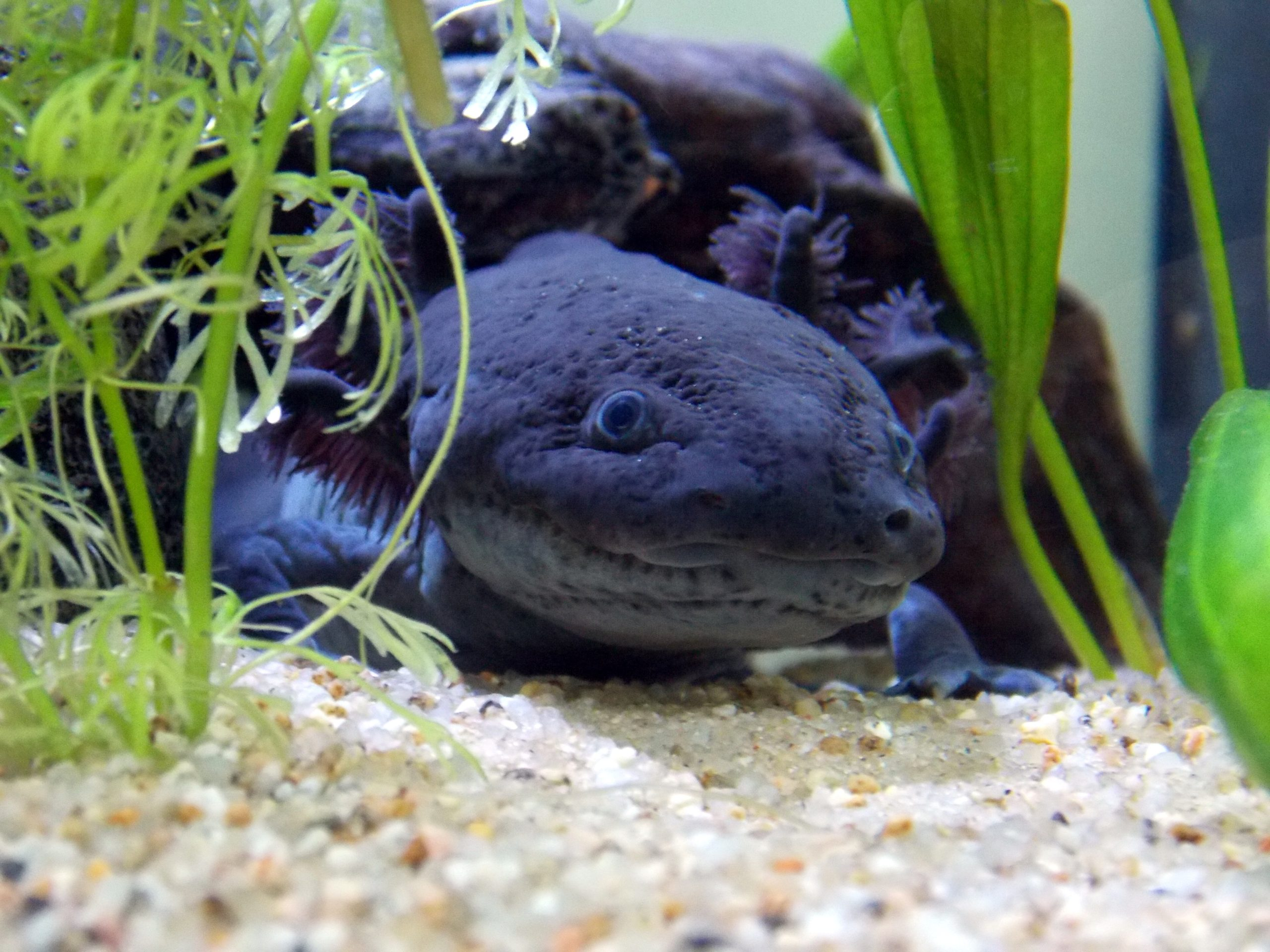 black axolotl wallpaper with green plants Loud Wallpapers 2560x1920