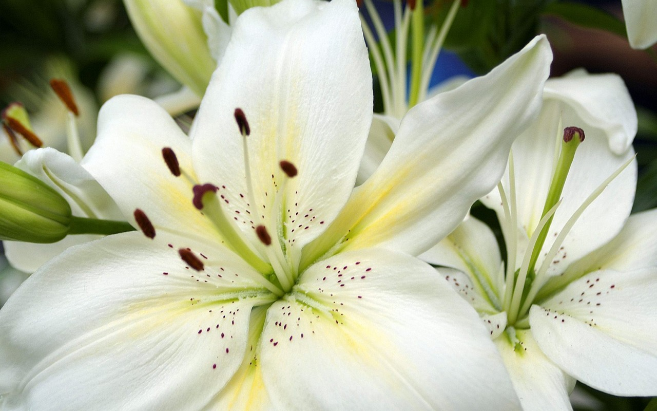 lilies flowers wallpaper white lilies flowers wallpaper white lilies 1280x800