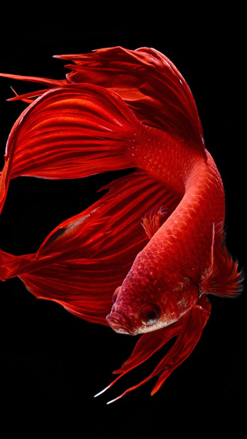 Apple iPhone 6s Wallpaper with Red Betta Fish in Dark Background HD 500x889