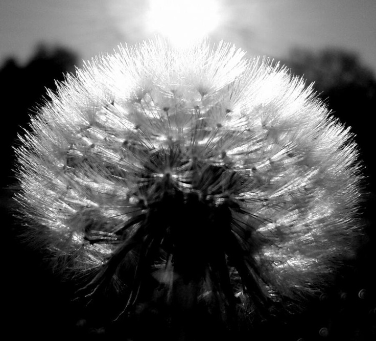 Dandelion Black And White Wallpaper Black And White Dandelion Download 736x667