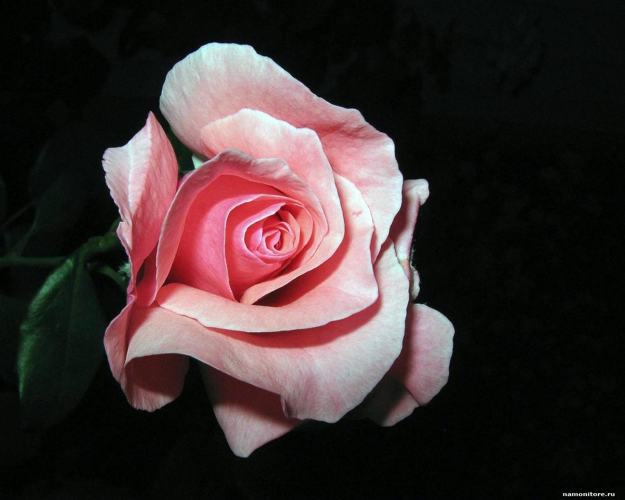 [45+] Pink And Black Rose Wallpaper On WallpaperSafari