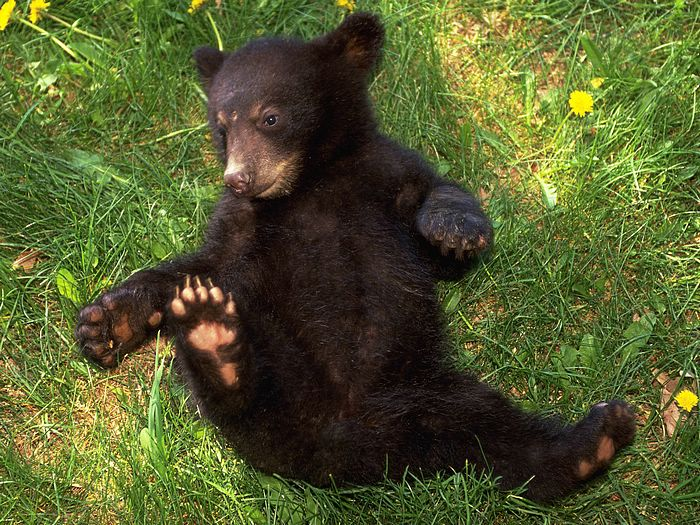 Image result for baby black bears cute