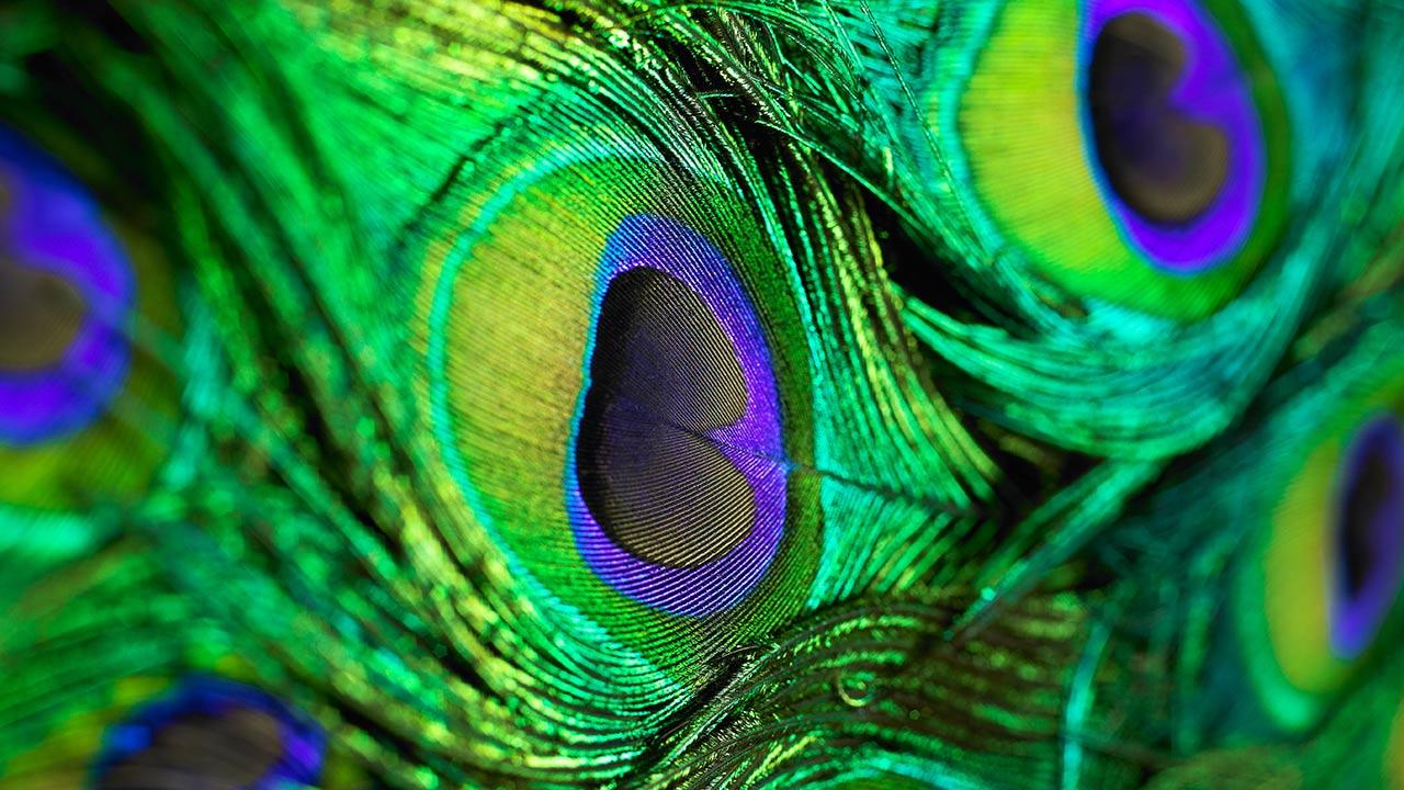 Peacock Feather Live Wallpaper   Android Apps on Google Play 1280x720