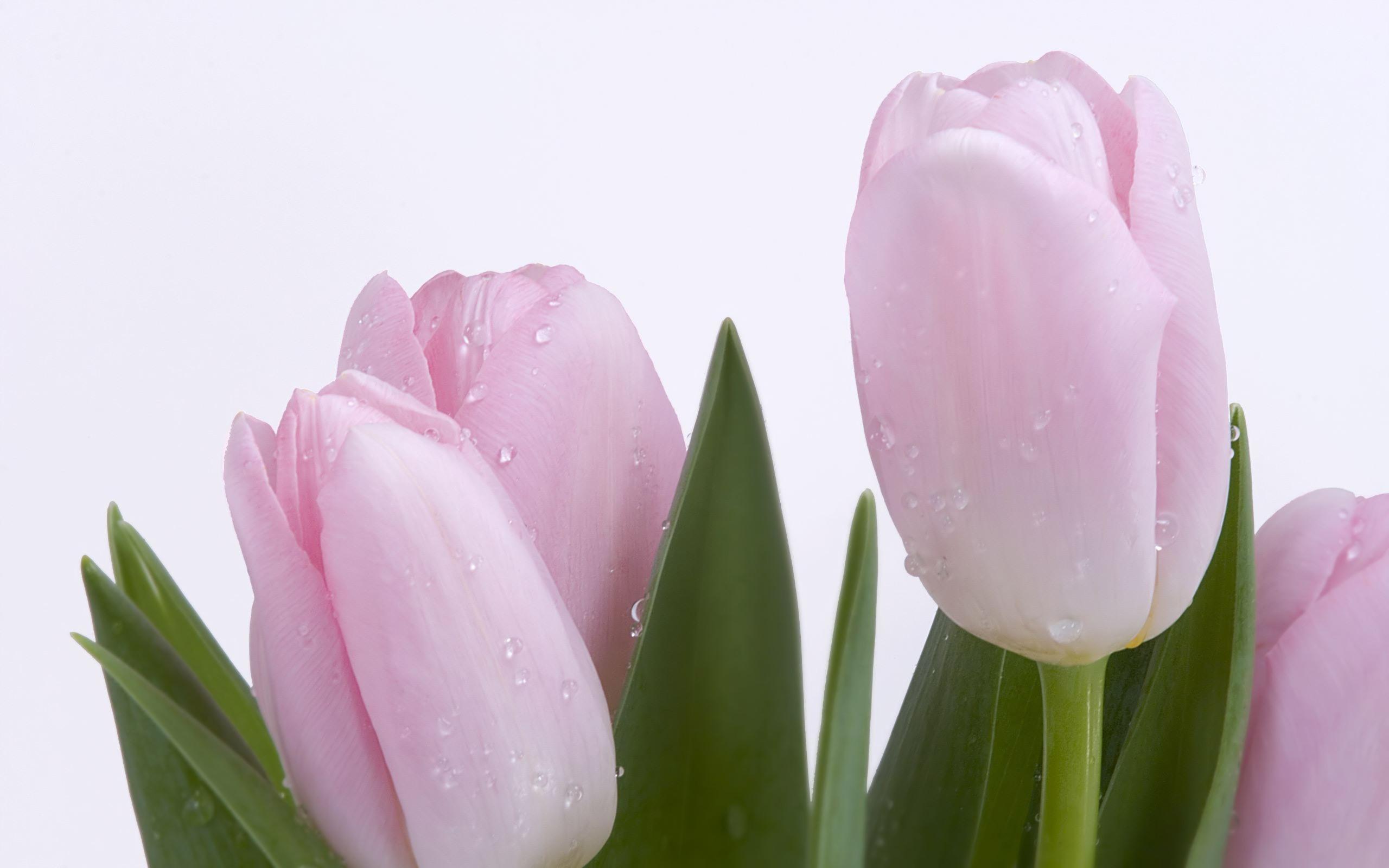Light Pink Tulips desktop wallpaper 2560x1600