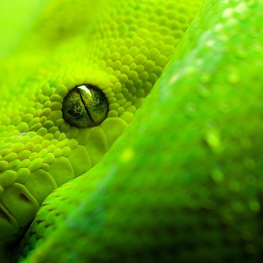 Snake Eye iPad Wallpaper Background and Theme 1024x1024