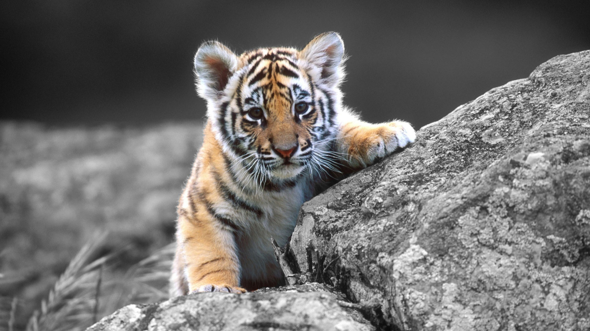 Cute Tiger Wallpaper Related Keywords amp Suggestions   Cute 1920x1080