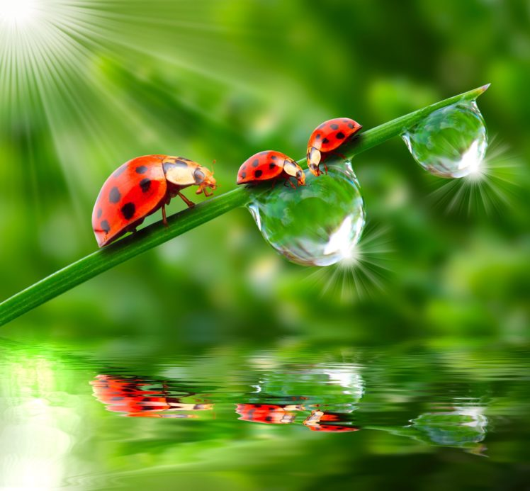 ladybugs Drops Three 3 Rays Of Light Animals Wallpapers 748x693