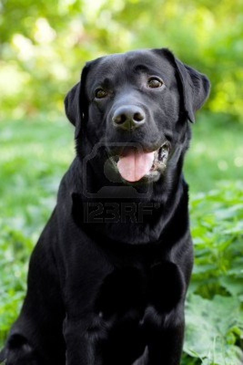 Black Labrador Retriever Wallpaper Wallpapersafari