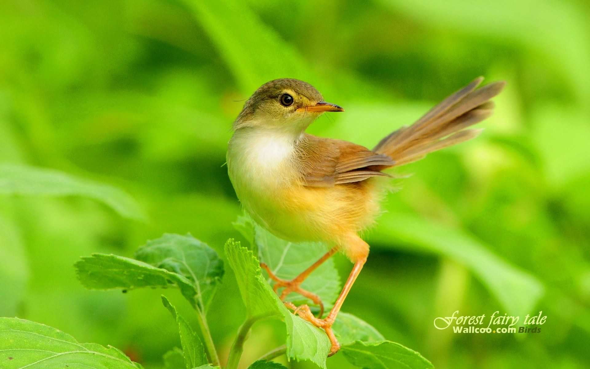 wallpapers plain prinia little gorgeous animal cute wallpaper 1920x1200
