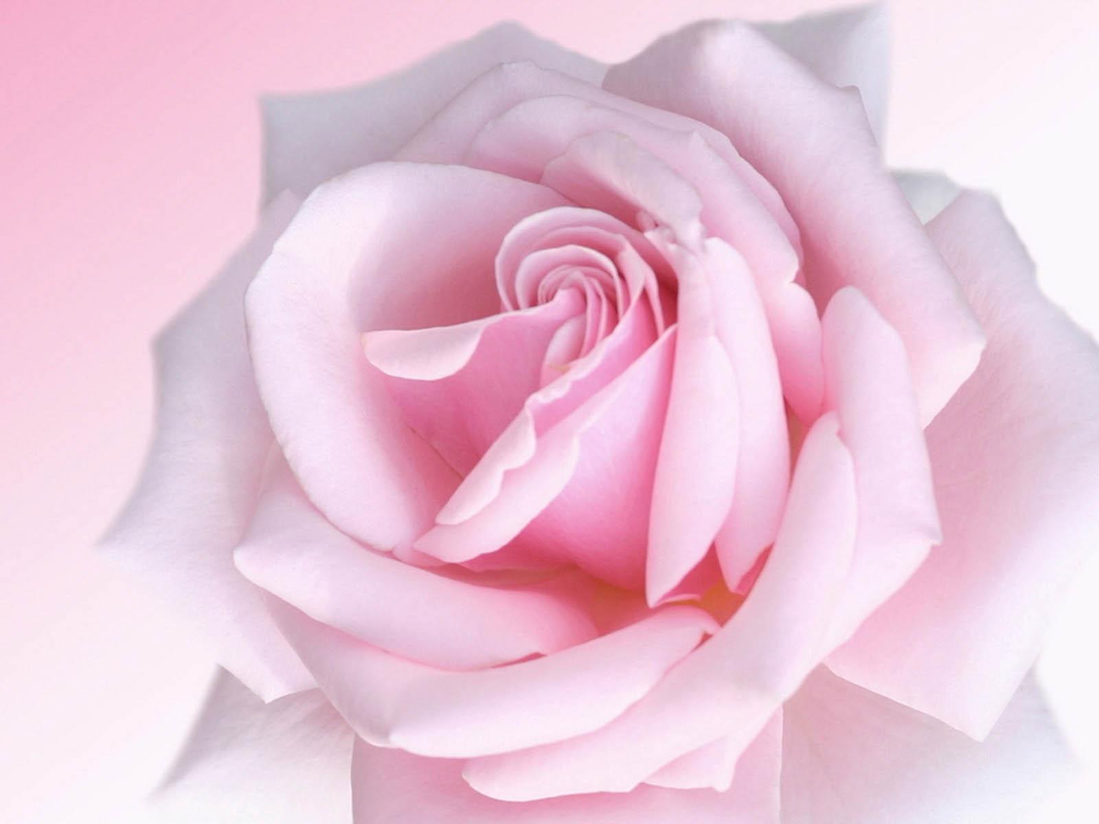 wallpaper Pink Rose Wallpapers 1600x1200