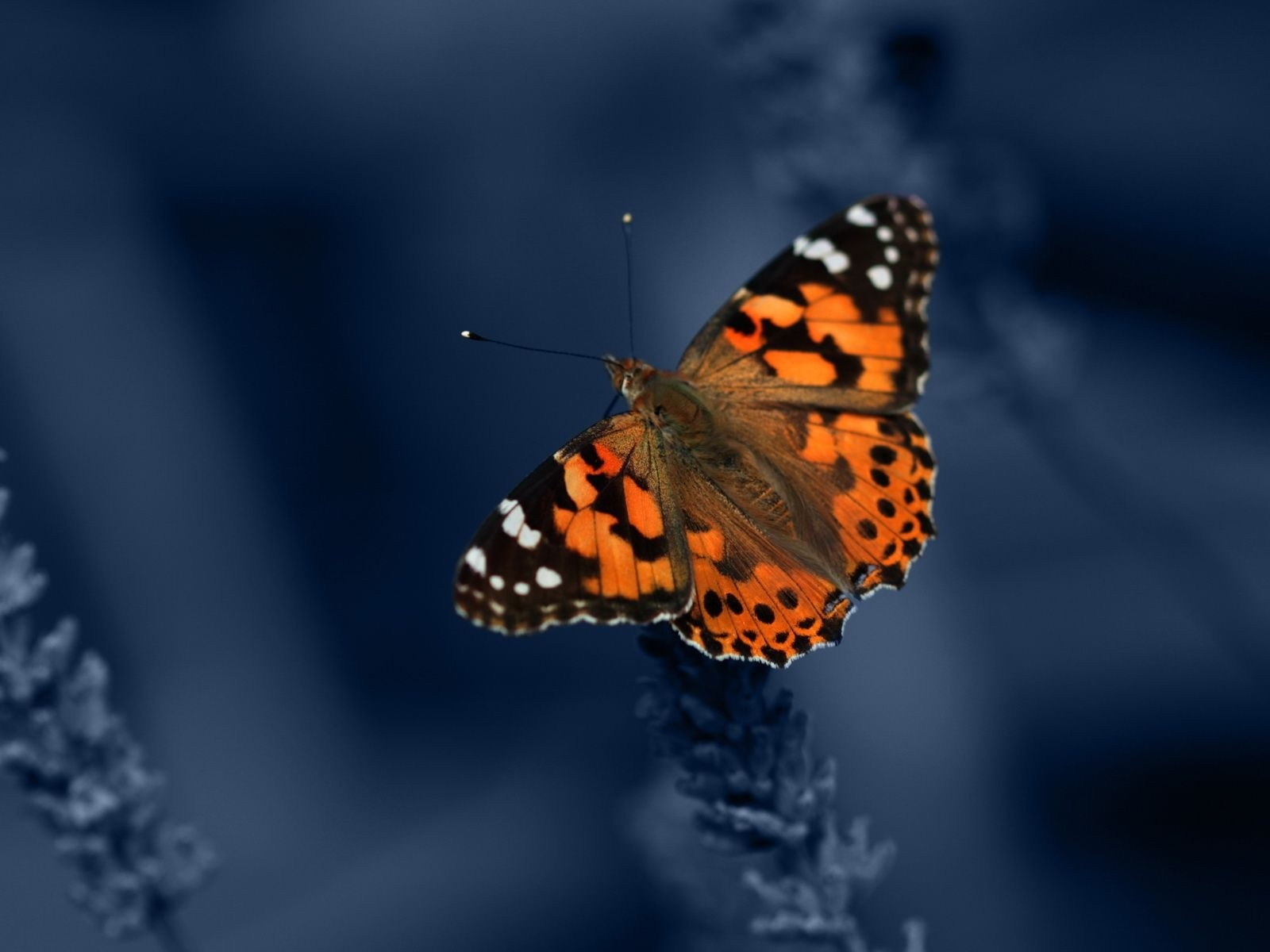 Orange Butterfly on Blue Background   Wallpaper 41836 1600x1200