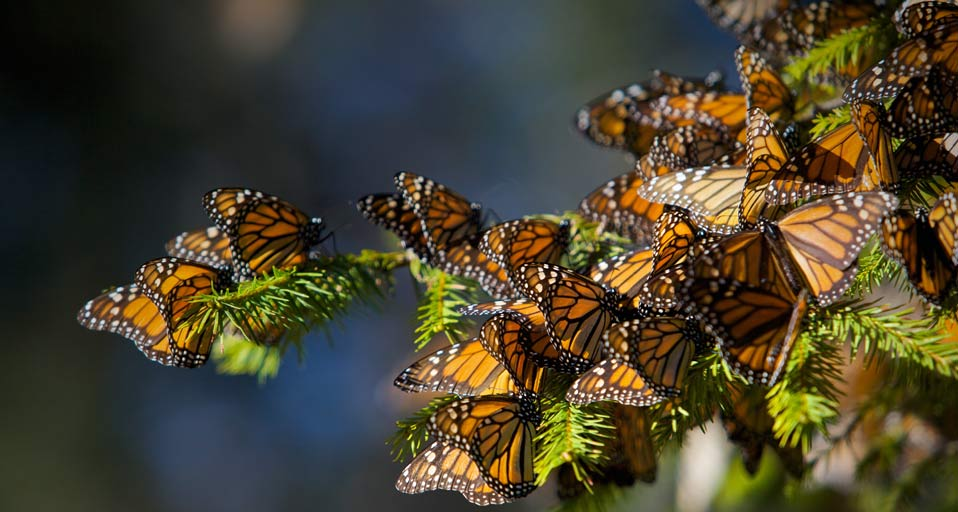 Bing Images   Monarch Butterflies   Monarch butterflies migrating to 958x512