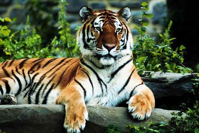 cute tiger pics   Tigers Photo 4013627 690x461