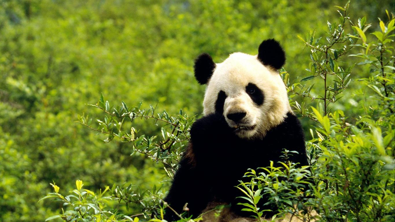 Cute Panda Photo HD desktop wallpapers backgrounds Wallpaper in 1366x768