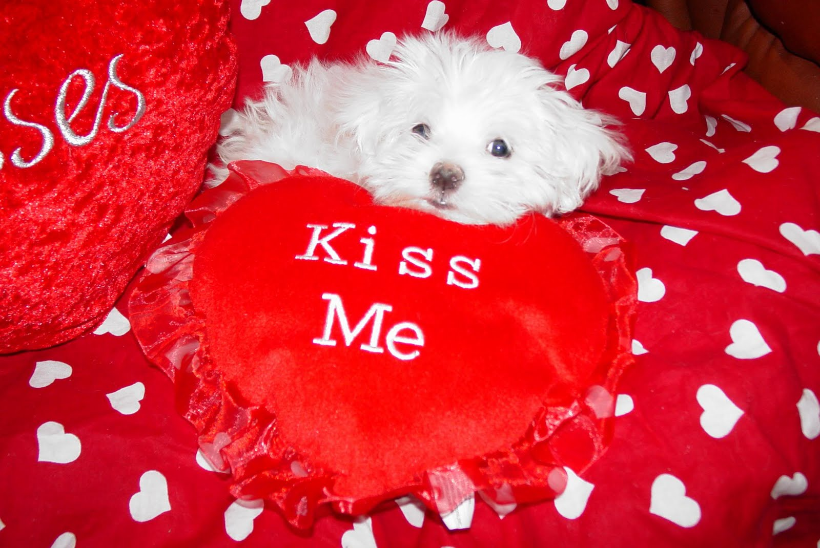 Valentines Kittens Puppies and Cupcakes   Cute Pictures and GIFs 1600x1070