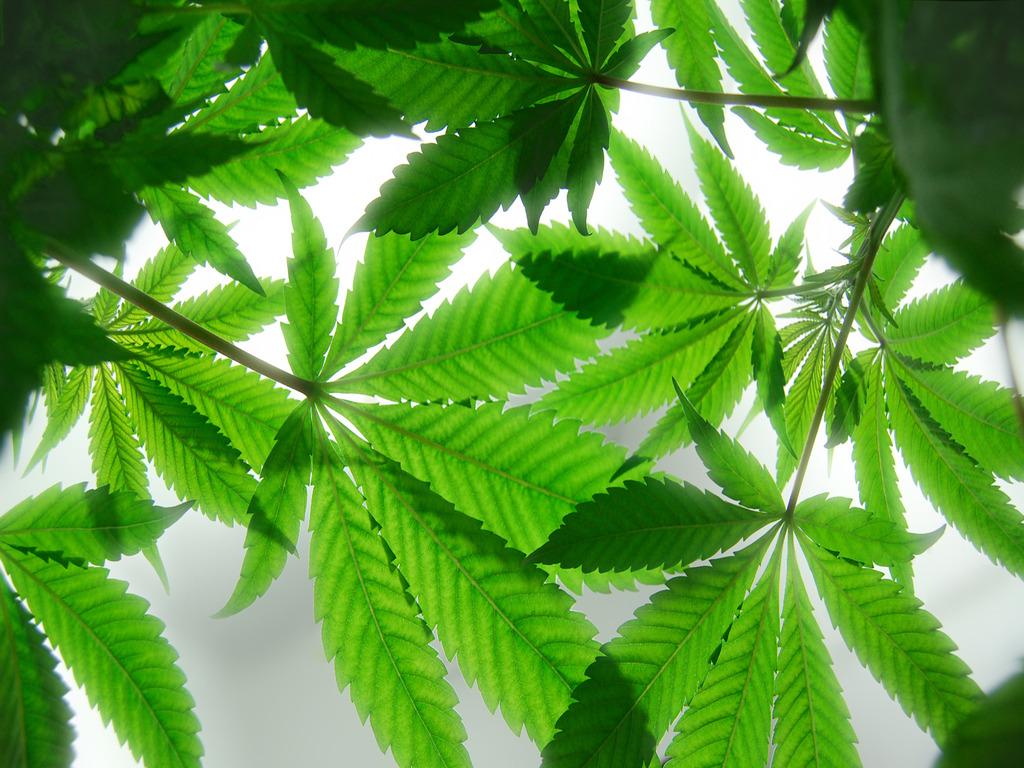 6lgfFIAAAAAAAAAWwHcU4uhY8On4s1600cannabis wallpaper z3ctx1jpg 1024x768