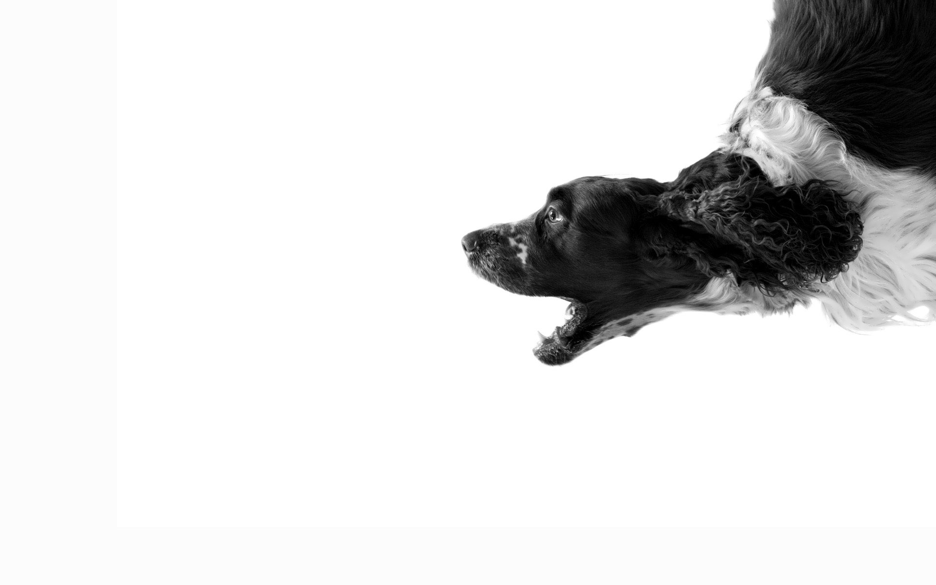 Hd wallpaper white background - Black And White Dog With White Background Hd