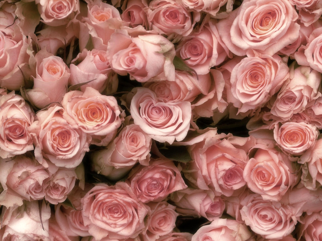 Roses Daydreaming Wallpaper 31866100 1024x768