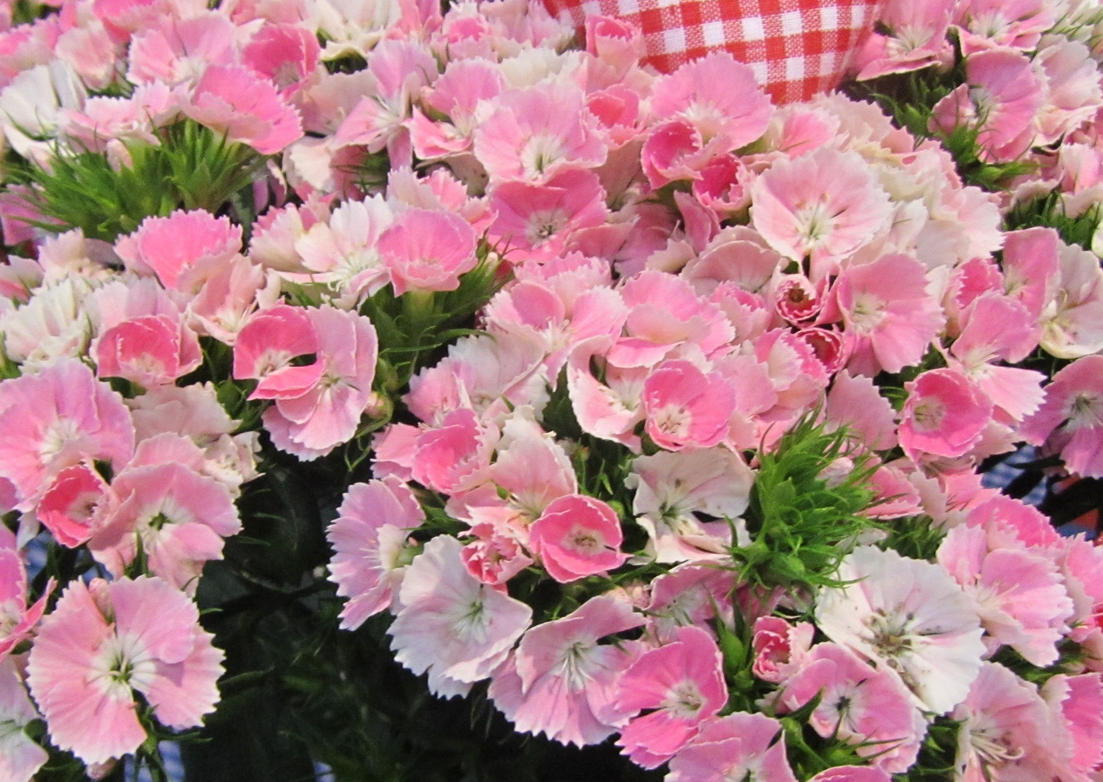 Dianthus barbatus Parzival Group   Photo newPlantsandFlowers 2241x1589