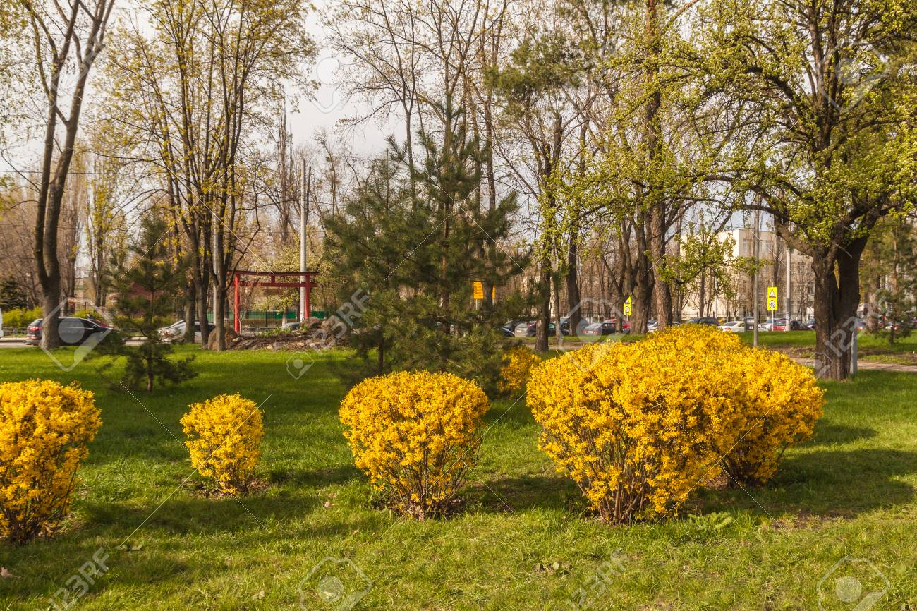 Forsythia Bushes Bloom Against The Background Of A Toro Gate 1300x866