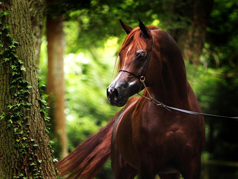 dark brown horse wallpaper