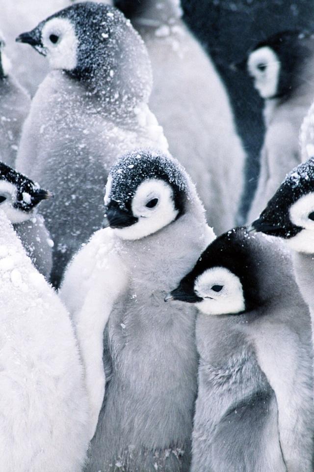 640x960 Frozen Penguins Iphone 4 wallpaper 640x960