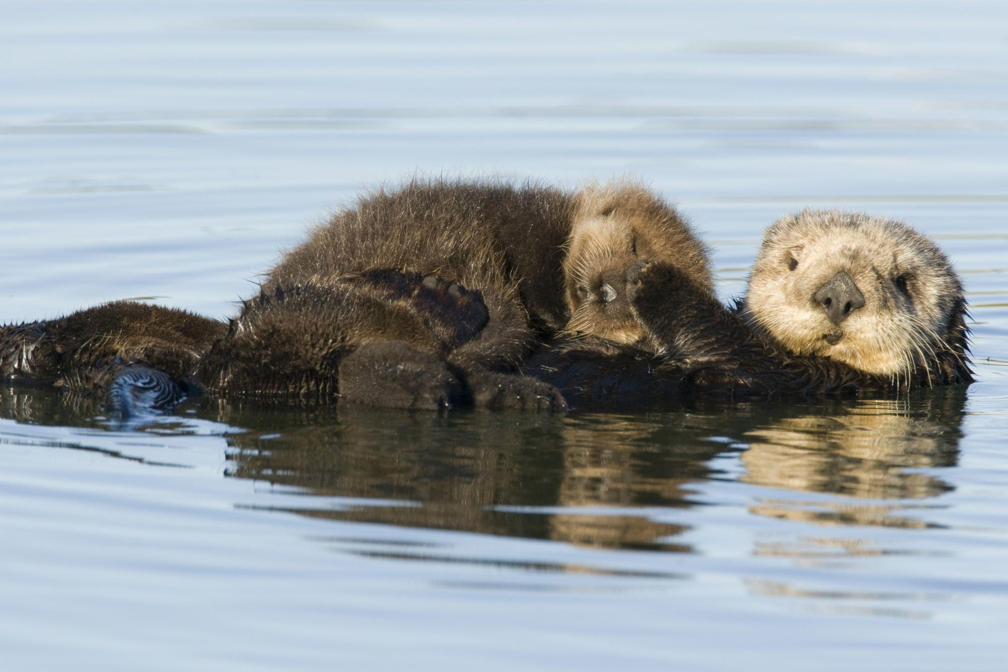 Sea Otter Wallpapers 2000x1333