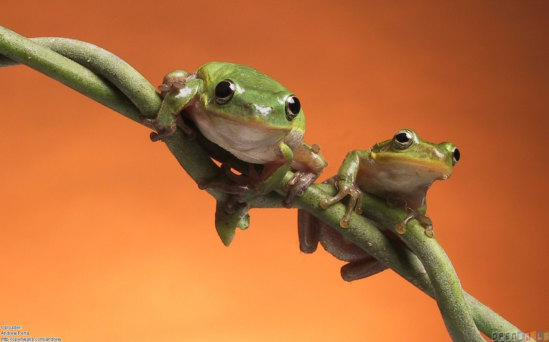 Cute frogs wallpaper 24829   Open Walls 1440x900