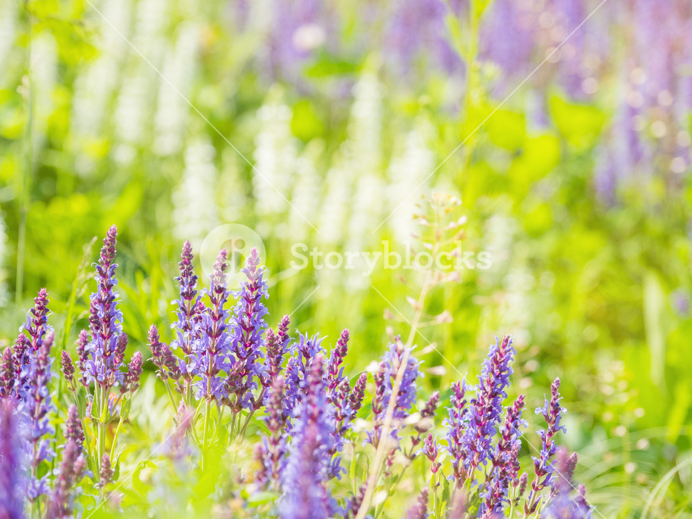 Natural summer background with blooming Woodland Sage Balkan 1000x750