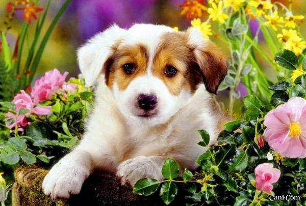 600x405px Spring Puppy Wallpaper Wallpapersafari