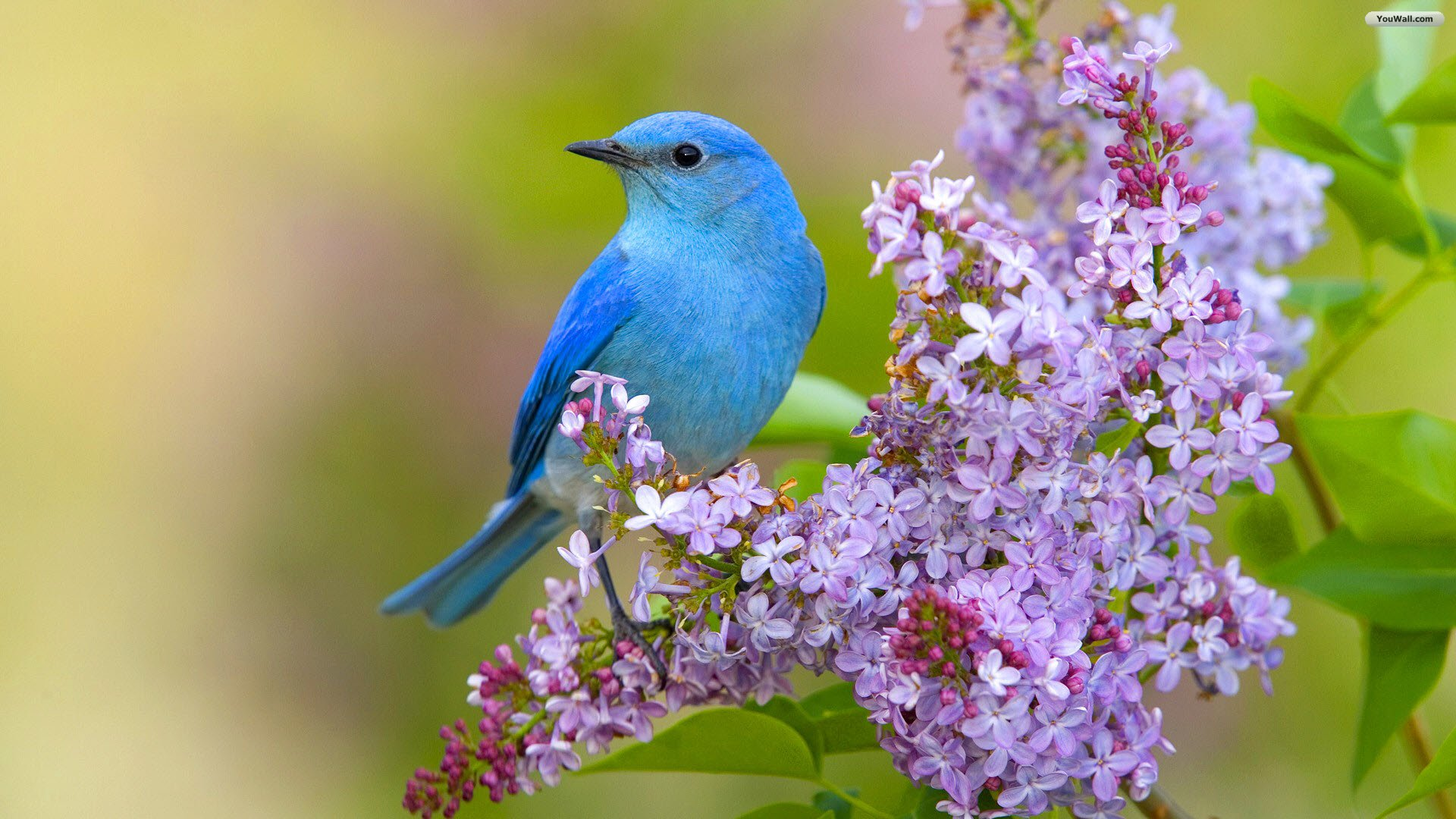 bluebird wallpaper wallpapersafari