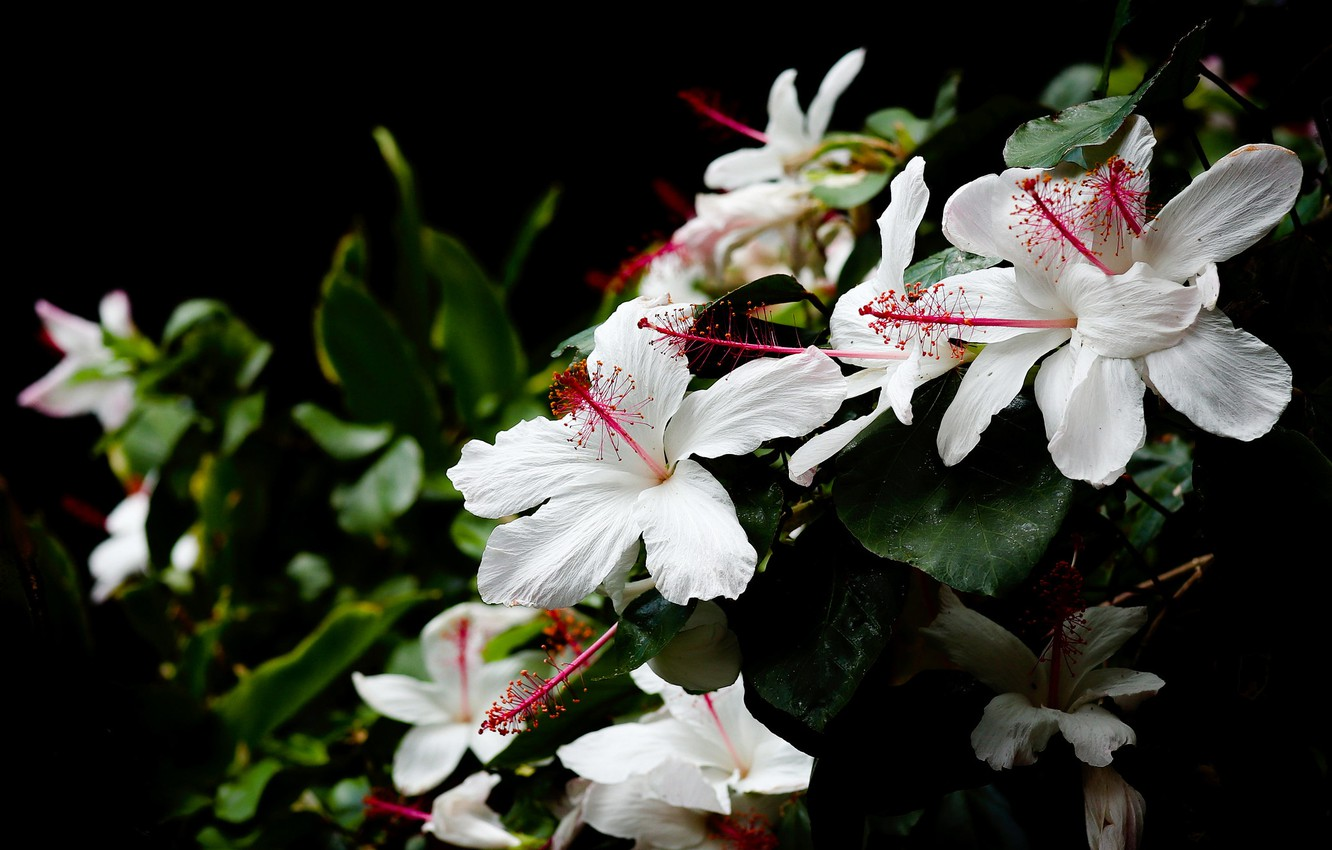 Wallpaper leaves flowers Bush garden white black background 1332x850