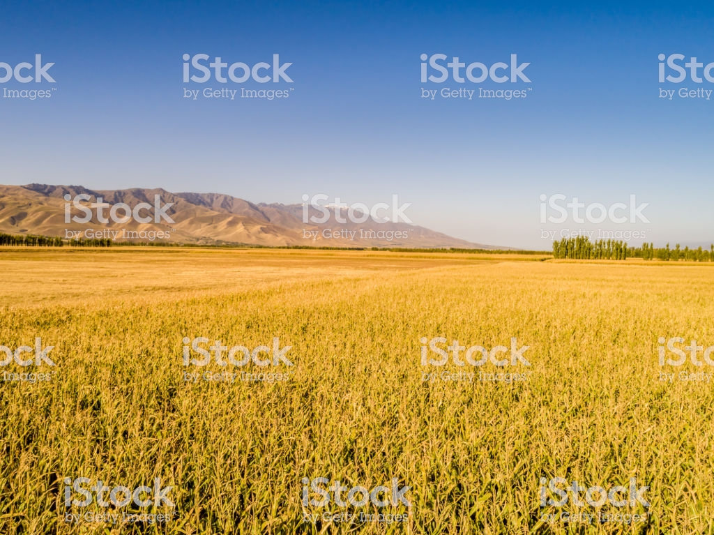 Yellow Field And Blue Sky The Pastoral Landscape The Countryside 1024x767