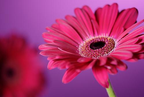 Beautiful Wallpapers gerbera and daisy flower wallpaper 500x335