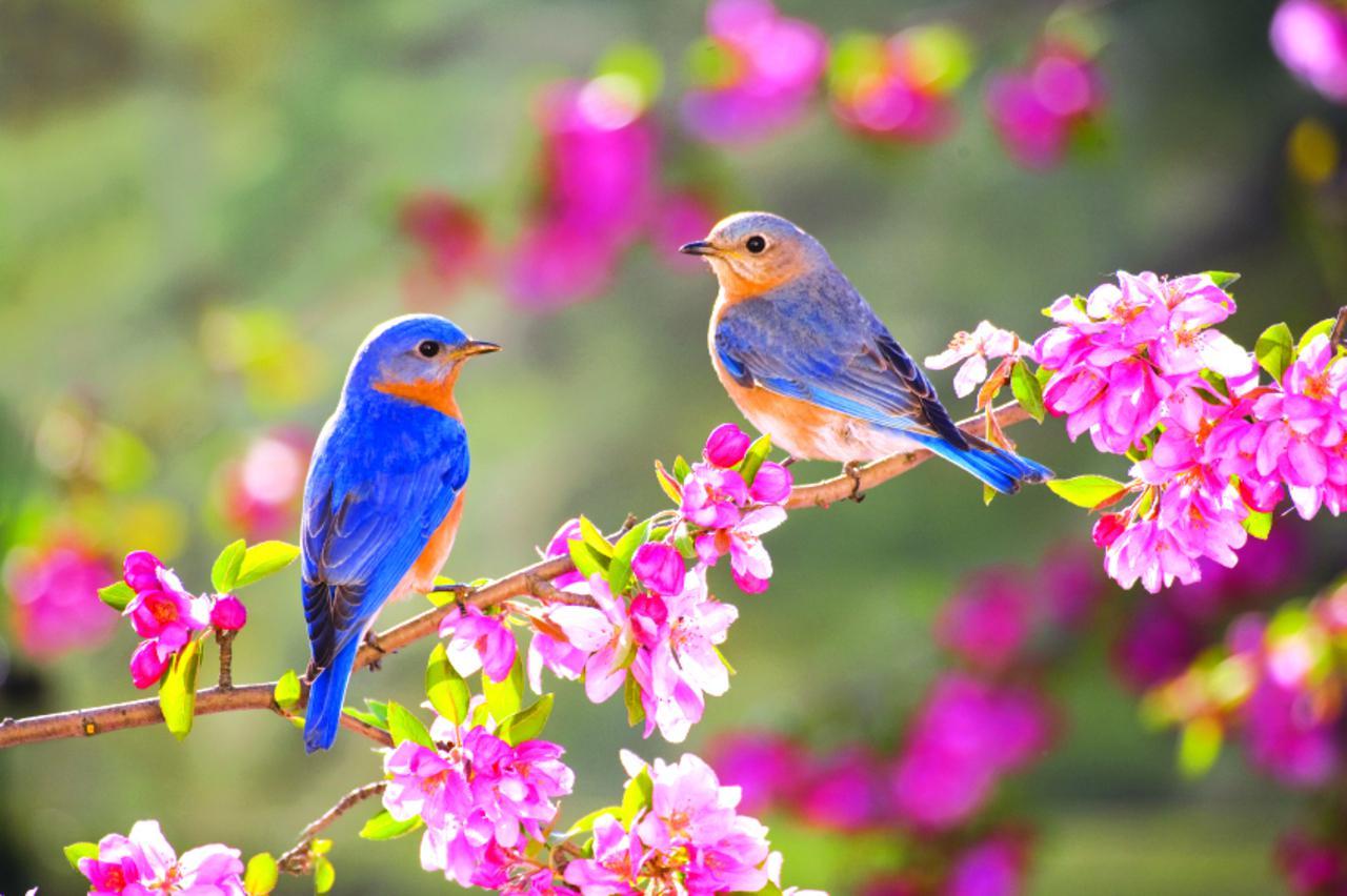 SPRING BLUE BIRDS WALLPAPER   148833   HD Wallpapers   [desktopinHQ 1280x852