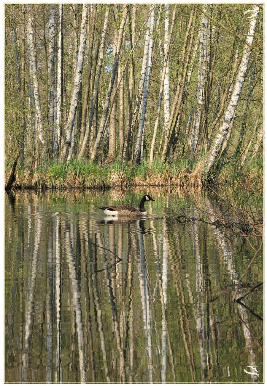 Birch tree reflection by Mutabi 900x1304