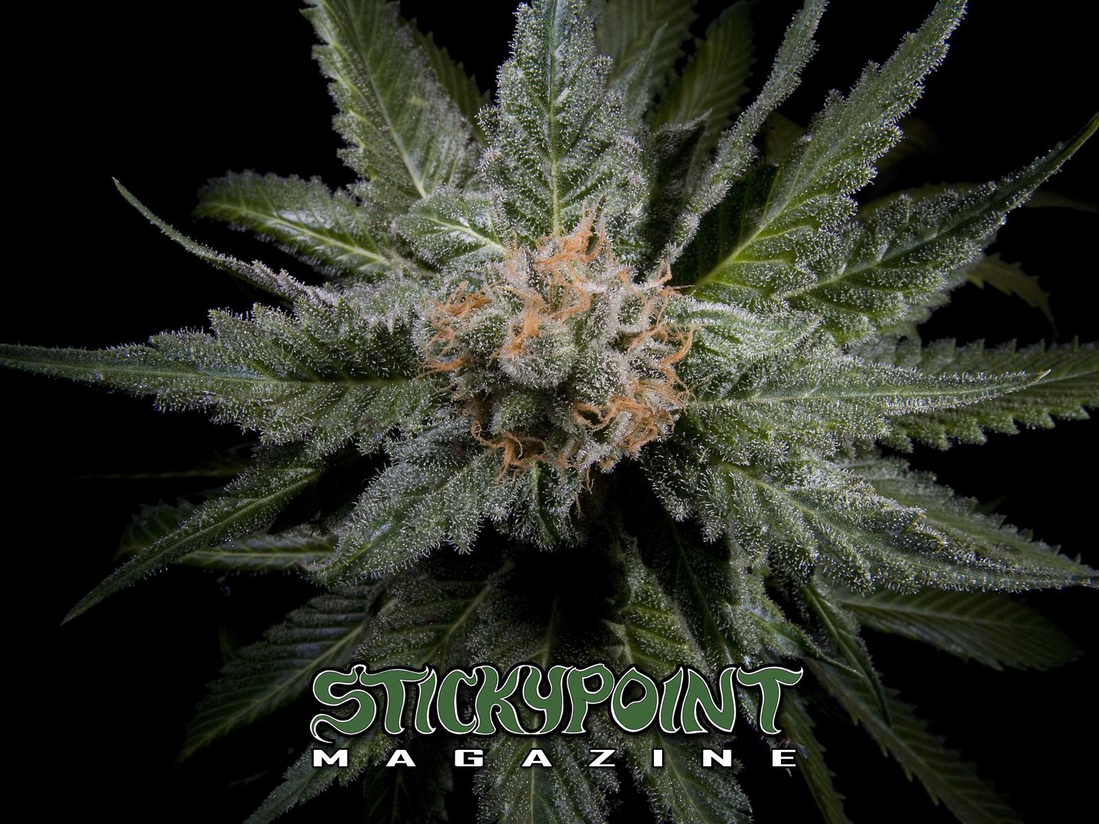 Cannabis Wallpapers StickyPoint Magazine Blog 1600x1200