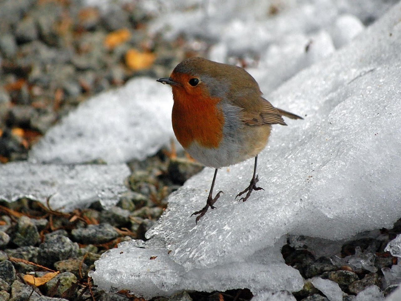 Animals Winter bird desktop wallpaper nr 59181 by katrin 1280x960