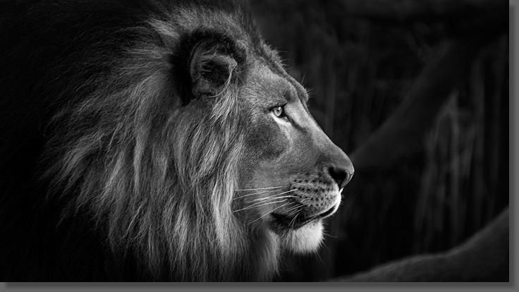White Lion Wallpaper Hd 1080p 33324 Interiordesign