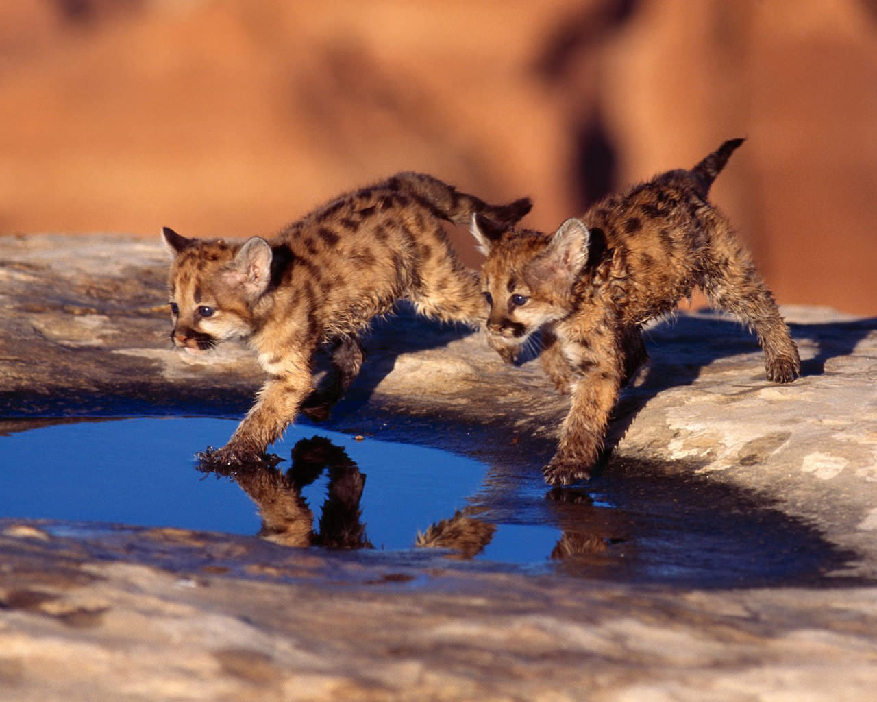 Baby Cougar Cubs Wallpaper 1280x1024 1280x1024