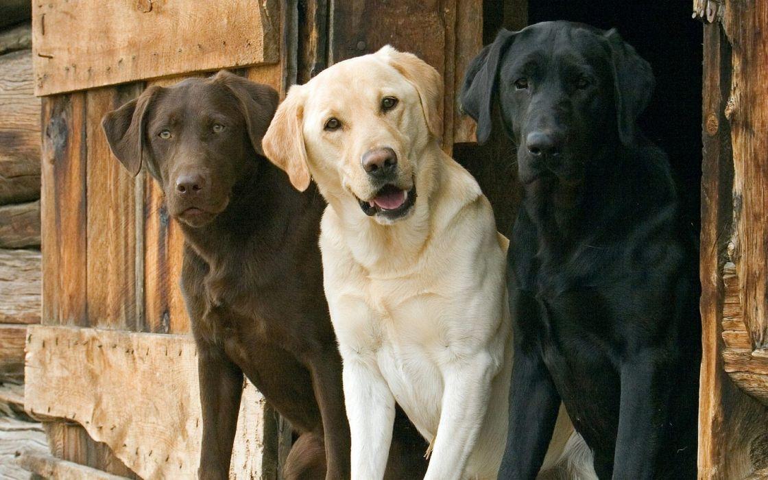 Animals dogs labrador retriever interracial wallpaper 1920x1200 1120x700