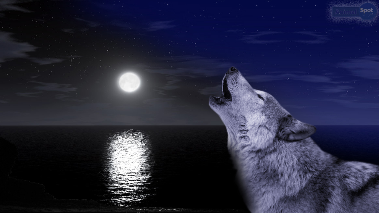 Free Download Wolf Moon Wallpaper 1280x720 For Your Desktop Mobile Tablet Explore 48 Wolf Moon Wallpaper Wolves Wallpapers For Desktop Wolf Wallpaper 1080p Wolf Wallpaper