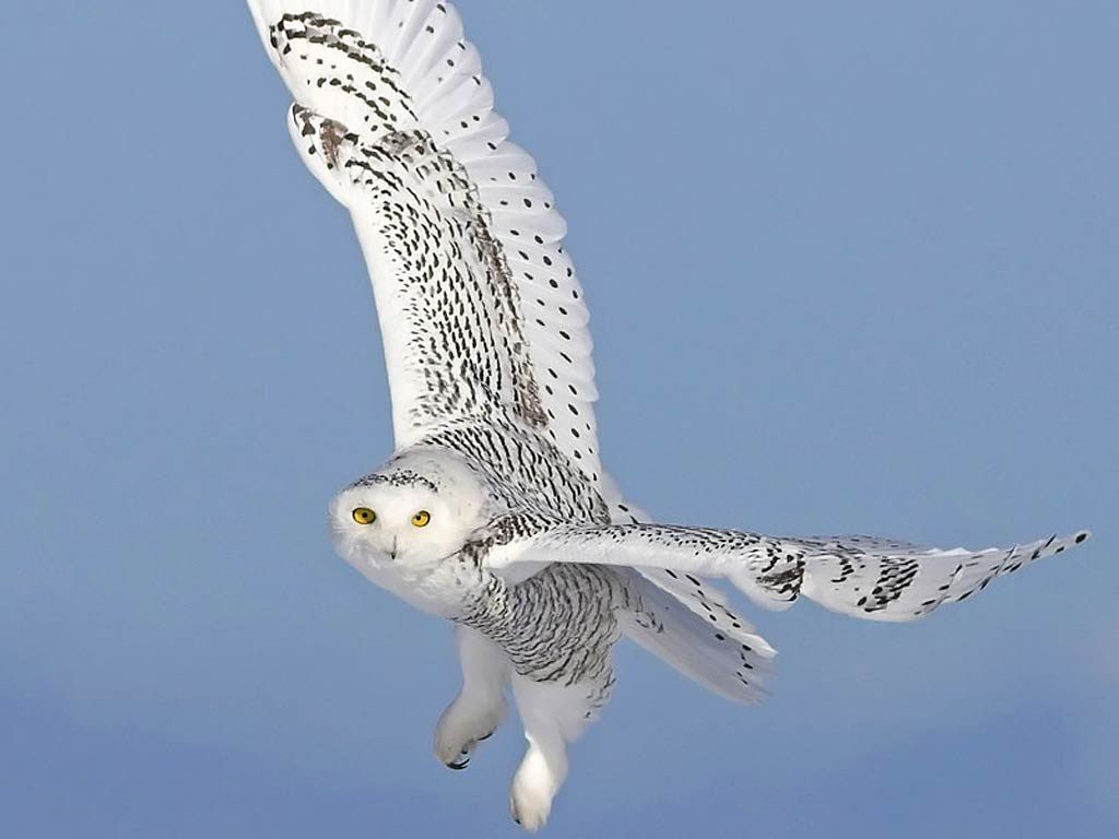 Snowy Owl Wallpaper Hd Wallpapersafari