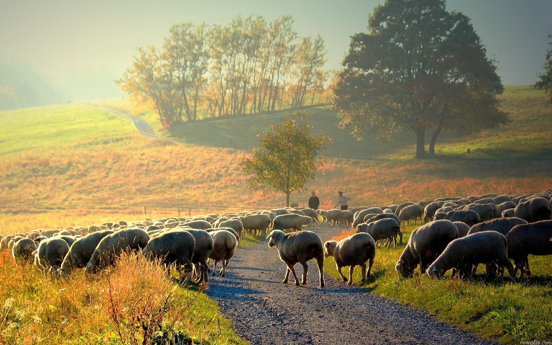 Sheep Wallpaper Morning Nature Landscape Desktop