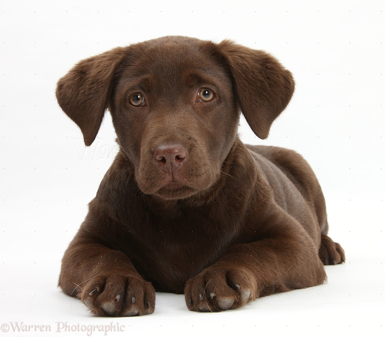 Chocolate Labrador pup Lucie 3 months old 1223x1072